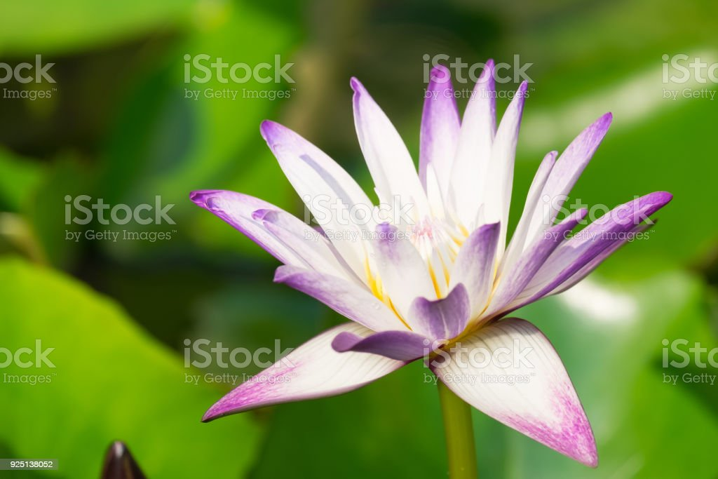close up of bugs are attracting pollen, purple lotus with blur green garden background stock photo