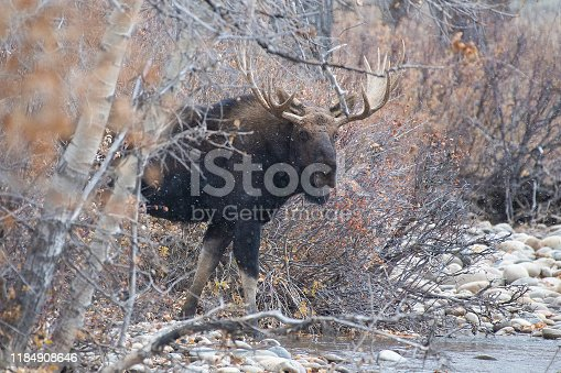 Large bull moose looking before crossing stream in the Tetons