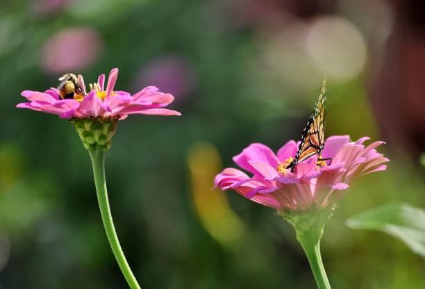 Close up of bumble bee and butterfly on pink zinnia flowers picture id1047071660?b=1&k=6&m=1047071660&s=612x612&w=0&h=fkcsbjduuxtjzlwnwac6rzpxwfqvcbs9bdhrt8fdtoi=