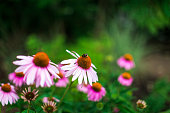 Close up color image of a bumble bee pollinating beautiful fresh wild echinacea flowers in a fresh lush meadow. Focus is sharp on the bee while the flowers and grass are defocused in the background. Room for copy space.