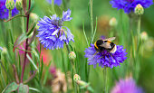 Close up color image of a bumble bee pollinating purple wildflowers in a fresh lush meadow. Focus is sharp on the bee while the flowers and grass are defocused in the background. Room for copy space.