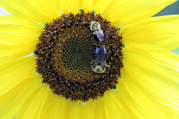 close up of bumblebees on sunflower - pam schodt stock photos and pictures