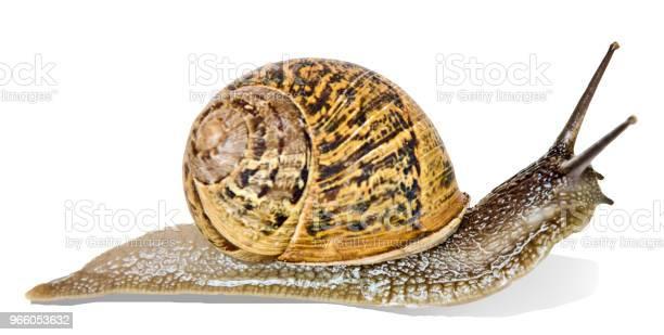 Close Up Of Burgundy Snail Isolated On White Background - Fotografias de stock e mais imagens de Animal