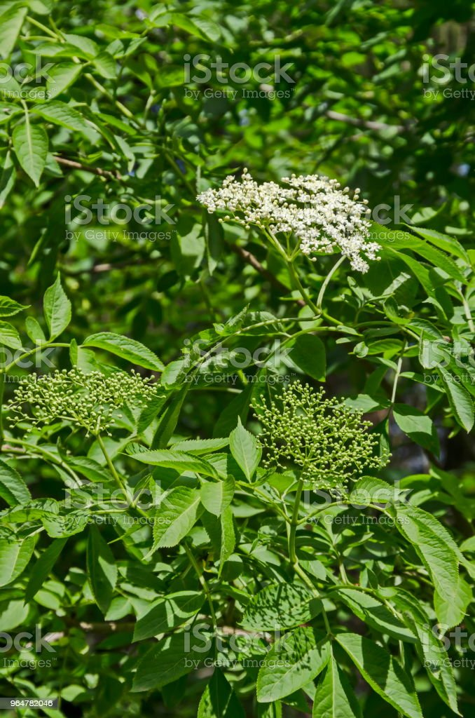 Close up of bush elderflower  or sambucus nigra with buds and bloom in springtime royalty-free stock photo