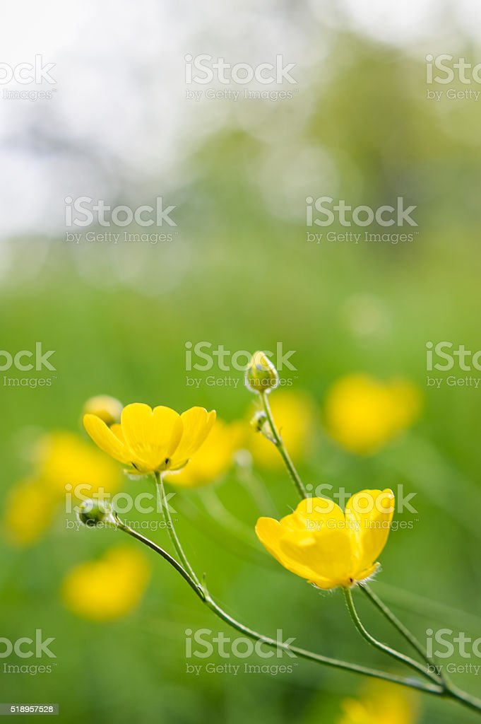 close up of buttercup flowers in sunlight stock photo