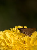 A beautiful close up of butterfly on an orange marigold flower. background blurred