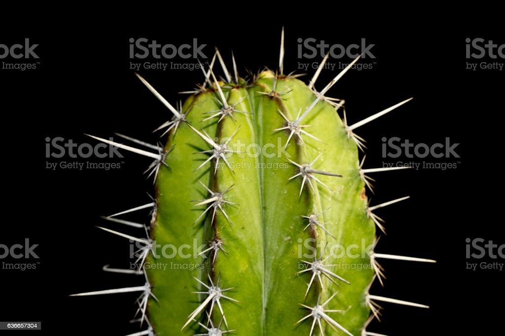 Close up of Cactus on Black Background stock photo