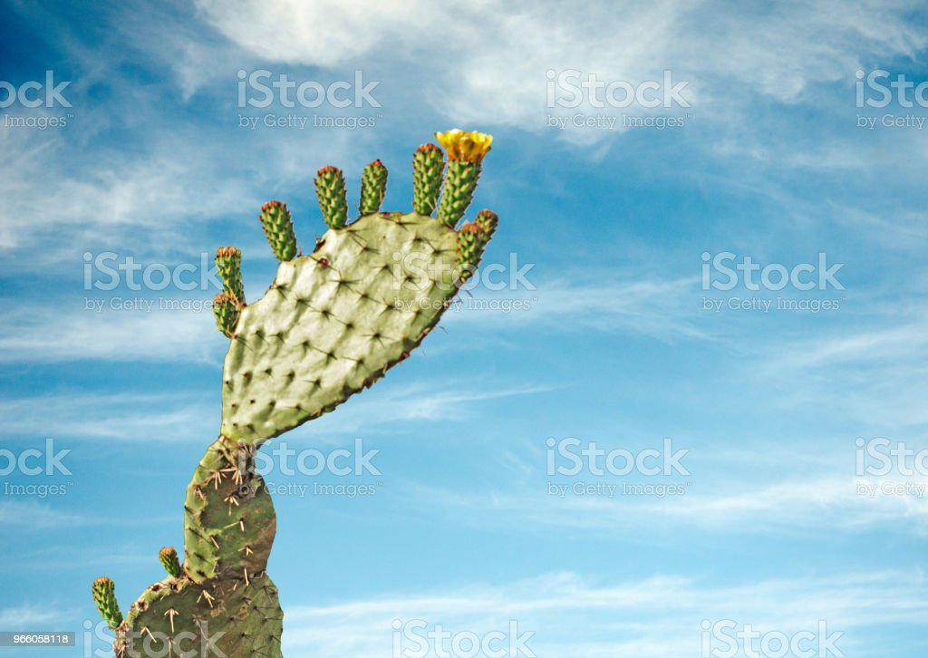närbild av kaktus - Royaltyfri Blå Bildbanksbilder
