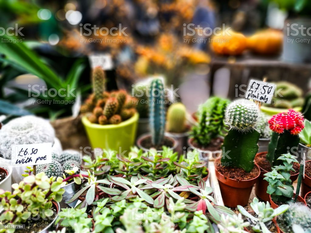 Close up of cactuses in a row for sale at the market stock photo