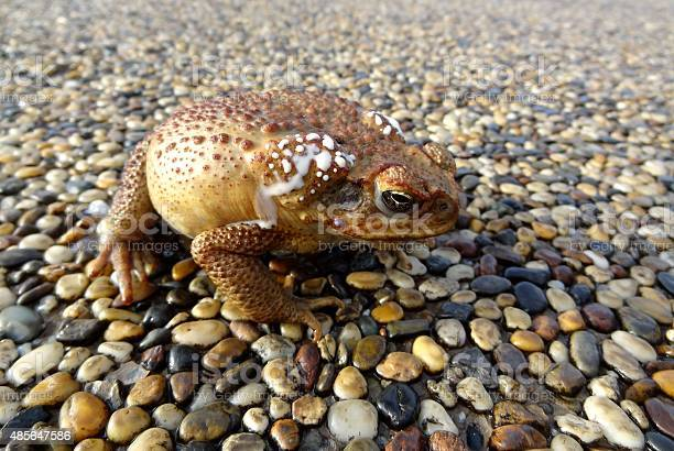 Photo of Close up of cane toad on pebbled surface, Australia