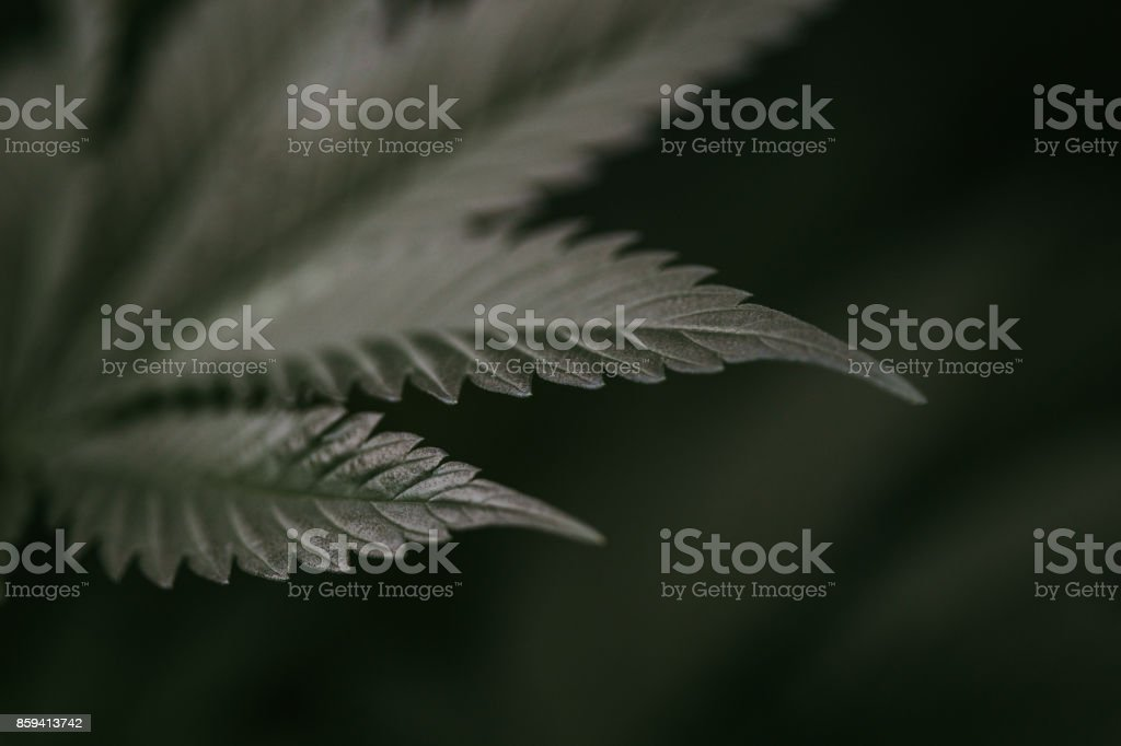 Close up of Cannabis Plant Leaf stock photo