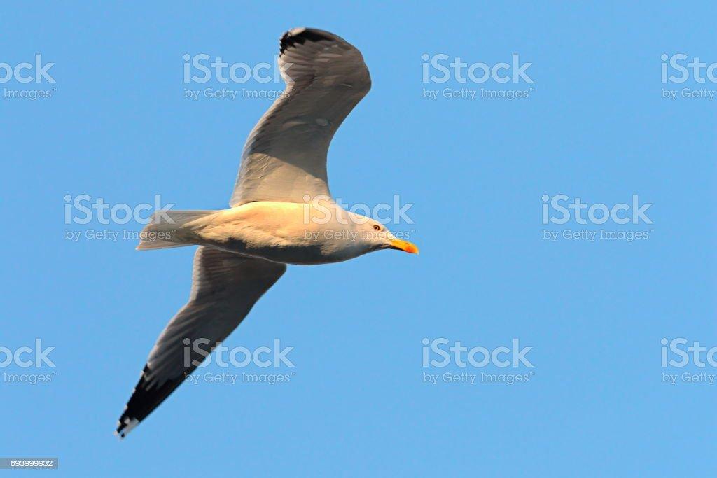 close up of caspian gull in flight over blue sky stock photo