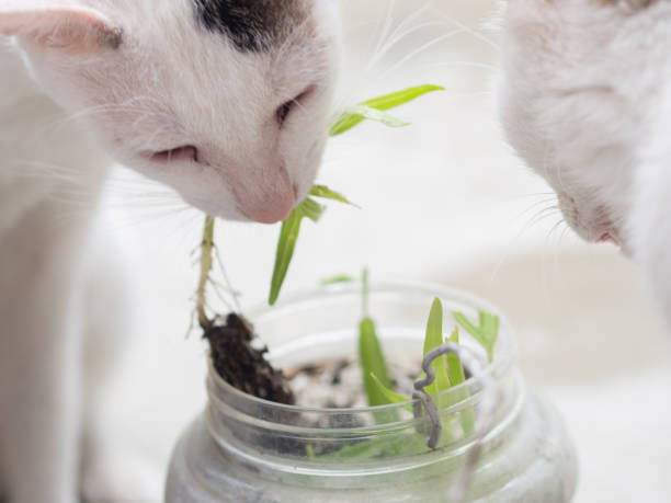 Close up of Cat Eating Grass stock photo