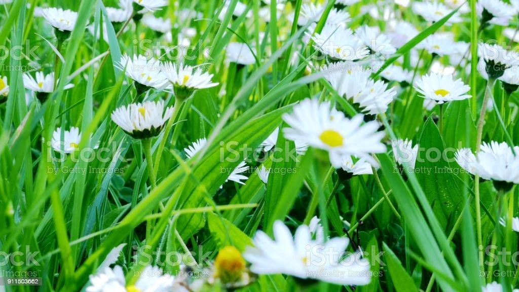 Close up of chamomile field stock photo