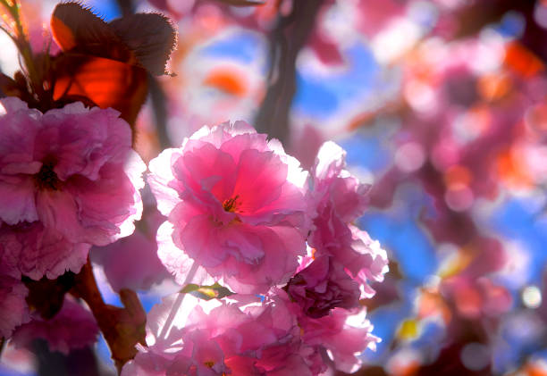 close up of cherry flower stock photo