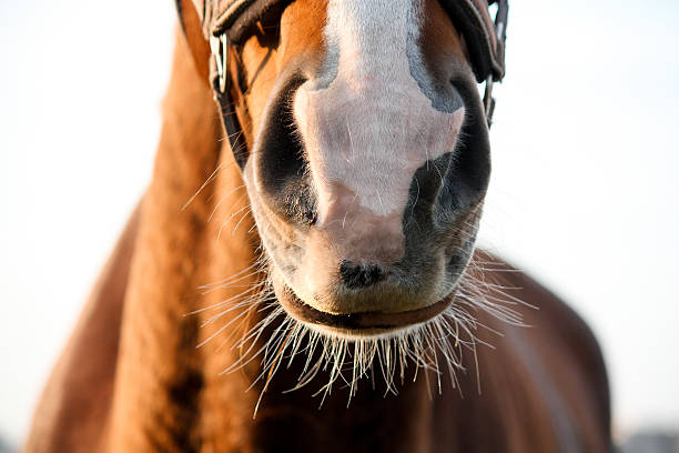 close up of chestnut horse nose - horse bit stock photos and pictures
