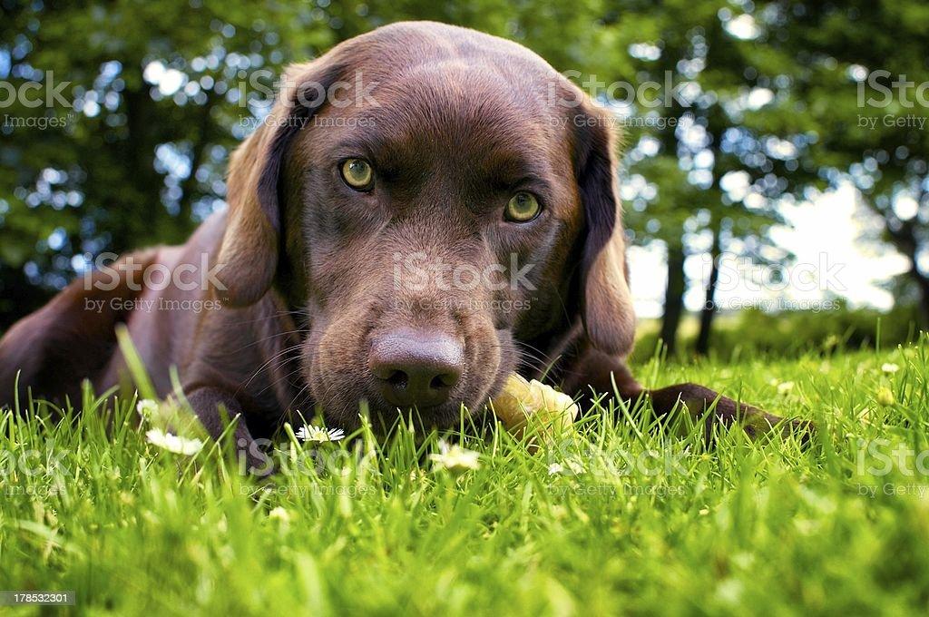 Close up of chocolate brown Labrador dog stock photo