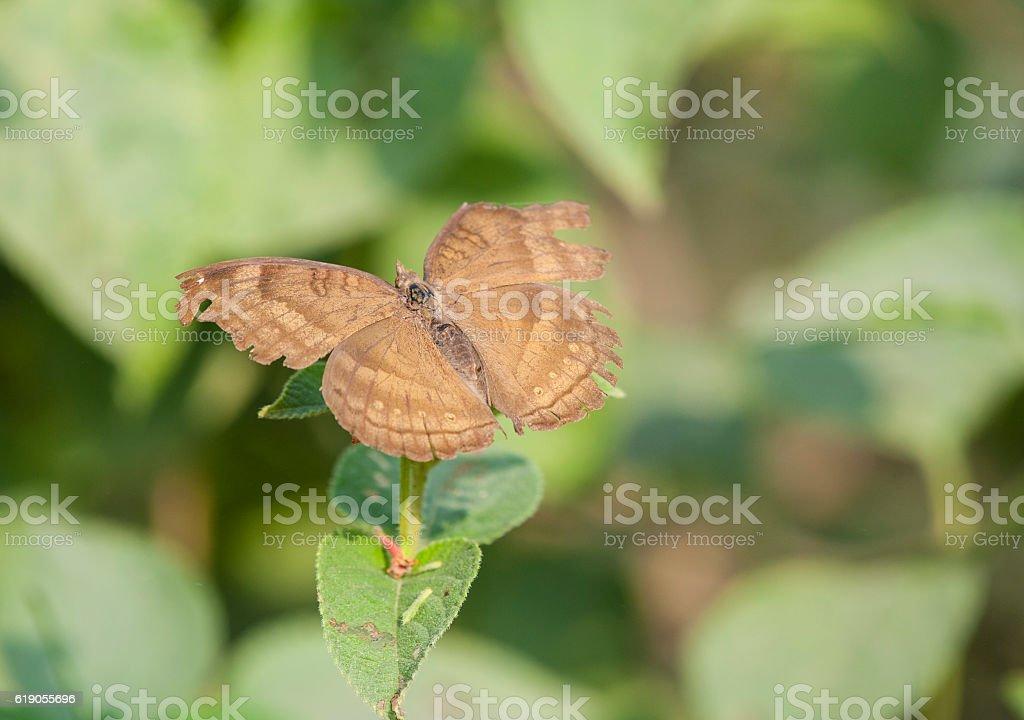 Close up of Chocolate Pansy (Junonia iphita) butterfly stock photo