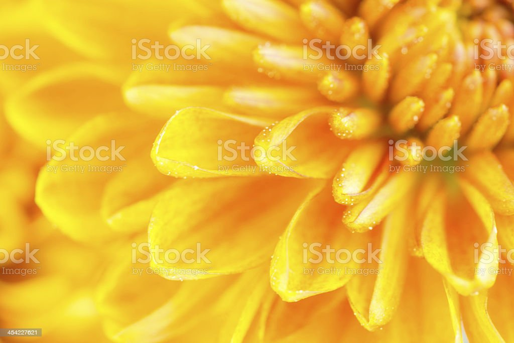 Close up of chrysanthemum flower royalty-free stock photo