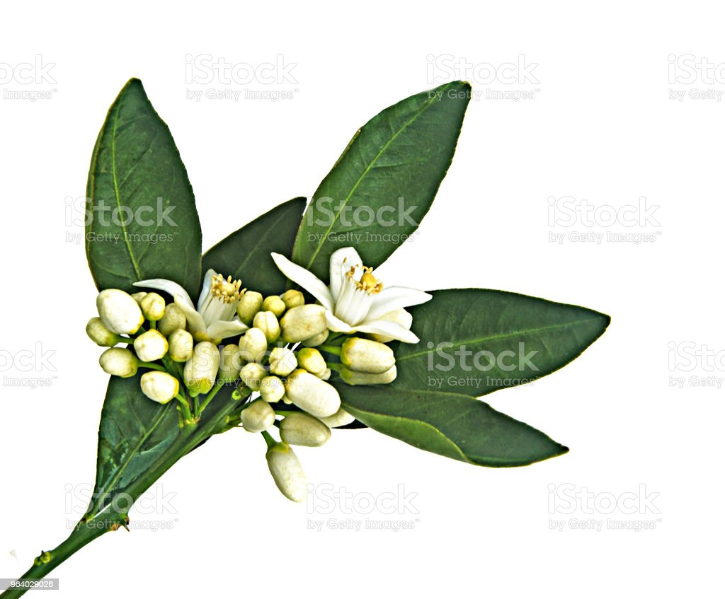 close up of citrus flowers - Royalty-free Backgrounds Stock Photo