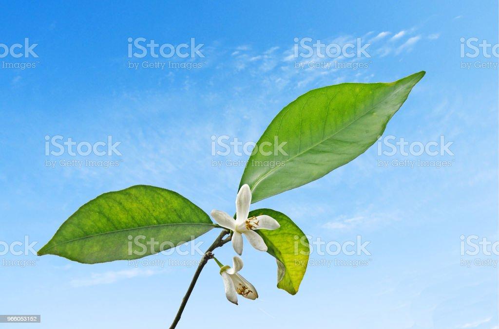 Nahaufnahme von Zitrusfrüchten Blumen - Lizenzfrei Baumblüte Stock-Foto