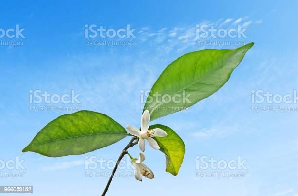 Nahaufnahme Von Zitrusfrüchten Blumen Stockfoto und mehr Bilder von Baumblüte