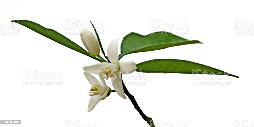 närbild av citrus blommor - Royaltyfri Bildbakgrund Bildbanksbilder