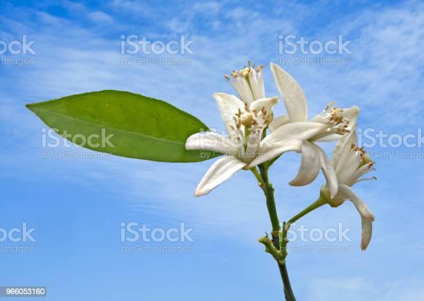Närbild Av Citrus Blommor-foton och fler bilder på Blomma
