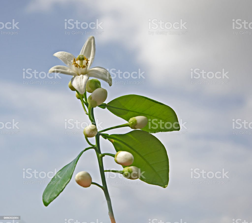 Close up van citrus bloemen - Royalty-free Blad Stockfoto