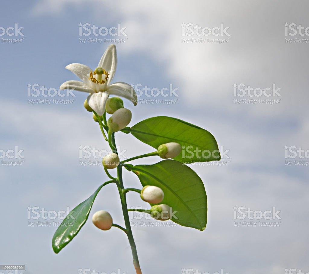 närbild av citrus blommor - Royaltyfri Blomma Bildbanksbilder
