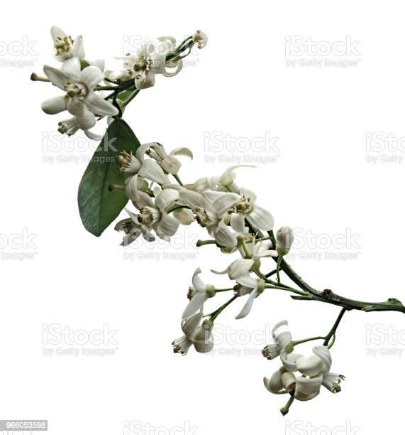 Närbild Av Citrus Blommor-foton och fler bilder på Bildbakgrund
