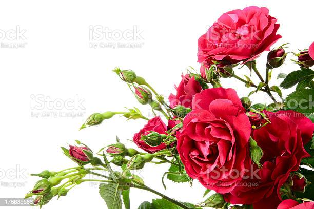 Close up of climbing roses on a white background picture id178635568?b=1&k=6&m=178635568&s=612x612&h=oxdevv7qqitcgpmk3jzdmetwbegnweybn1oywynls4k=