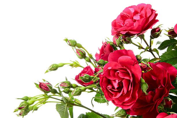 Nahaufnahme von Klettern Rosen auf weißem Hintergrund – Foto