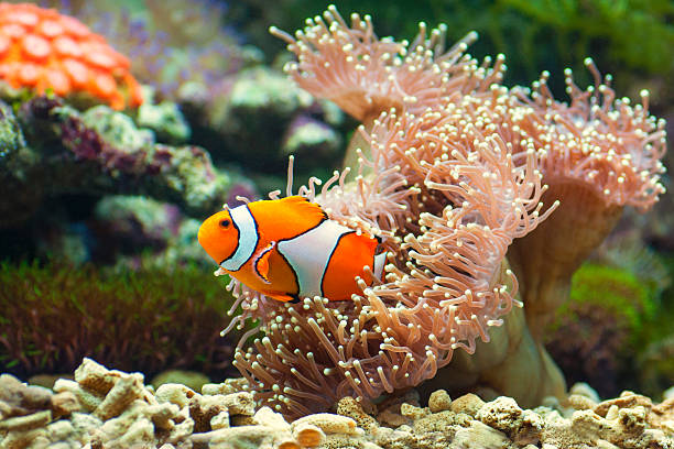 close up of clown fish close up of clown fish and soft corals darting amongst the stinging tentacles of the sea anemone nemo museum stock pictures, royalty-free photos & images