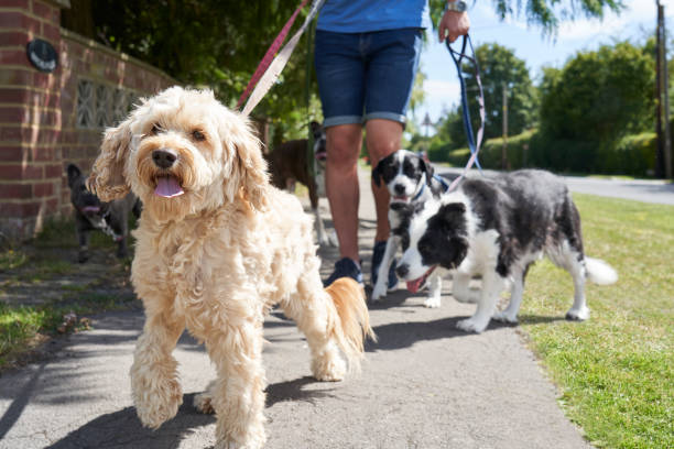 Close up of cockapoo pet dog being walked on suburban street with other dogs by male dog walker stock photo