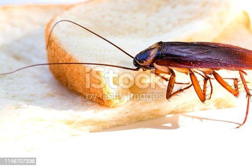 istock Close up of cockroach on a slice of bread 1146707336
