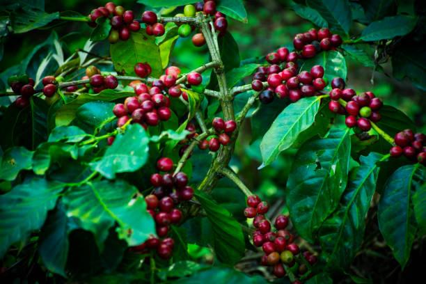 Close Up Of Coffee Cherries stock photo