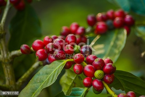 Close Up Of Coffee Cherries