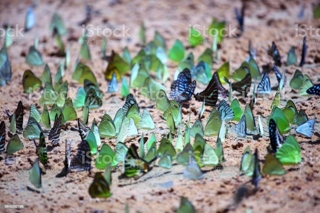 close up of colorful butterflies feeding on ground - Royalty-free Animal Stock Photo