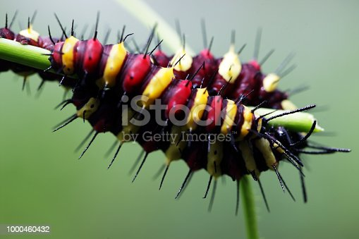 close up of colorful butterfly caterpillar on green background.