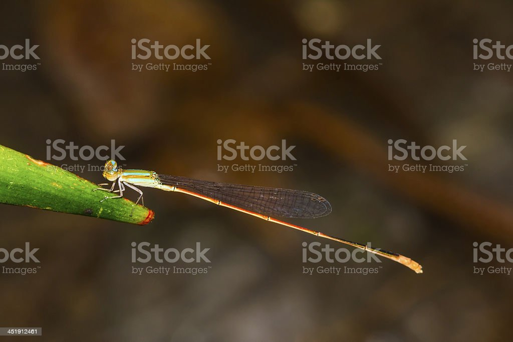 Close up of colorful damselfly stock photo