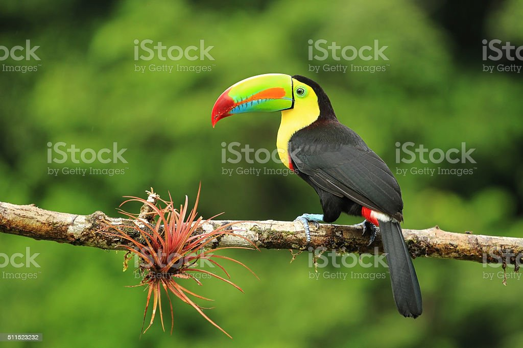 Close up of colorful keel-billed toucan bird stock photo