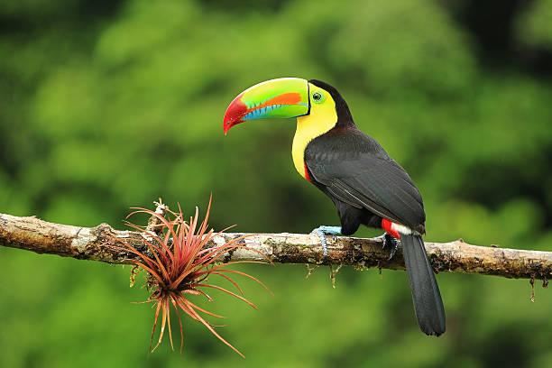 close up of colorful keel-billed toucan bird - costa rica stockfoto's en -beelden
