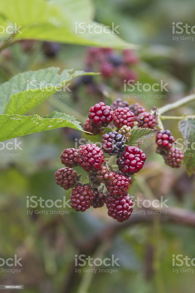 Close Up of Colorful, Ripening Blackberries royalty-free stock photo