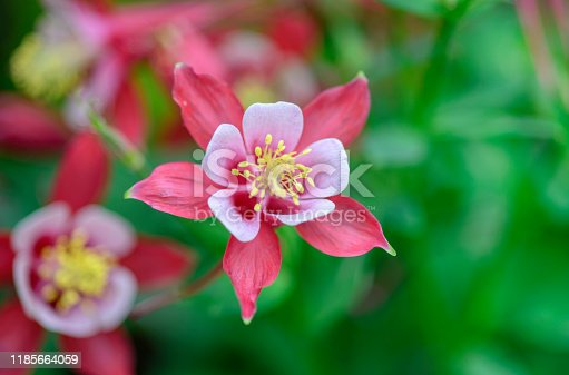 beautiful red aquilegia in focus on a blurred green leafy background