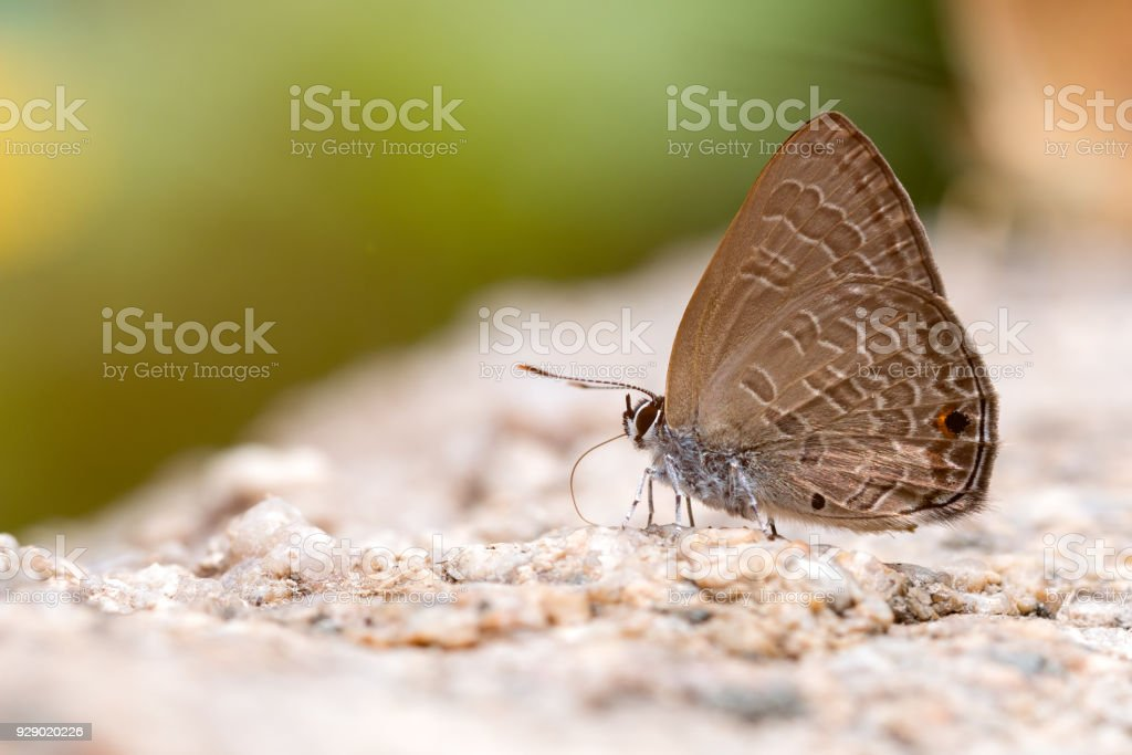 Close up of Common Ciliate Blue butterfly feed on rock stock photo