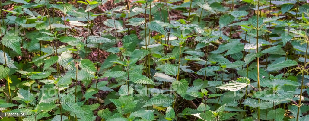 close up of common stinging nettles, fresh growing herbs, healthy...