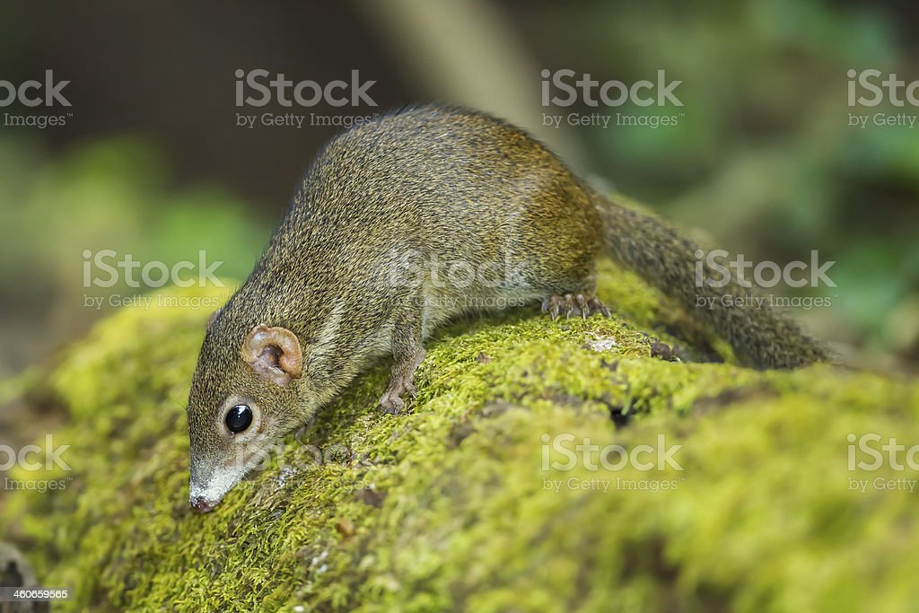 Close up of Common treeshrew stock photo