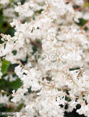 close up of common yarrow plant tree ; England; UK