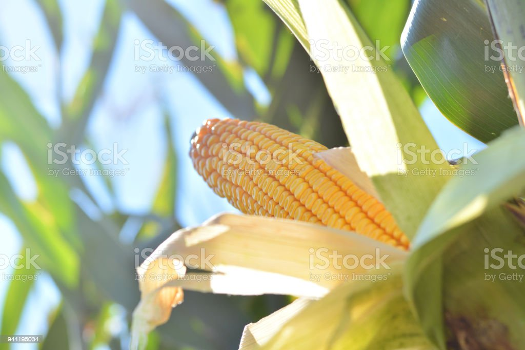 Close up of corn cob in the field stock photo